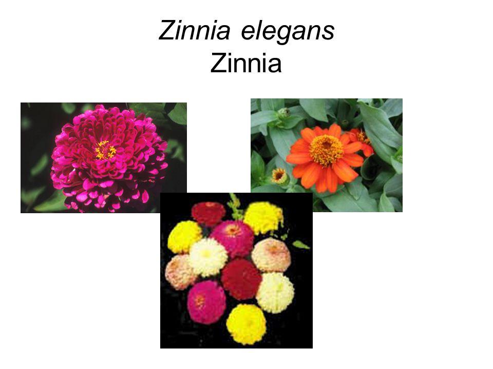 Zinnia elegans Zinnia