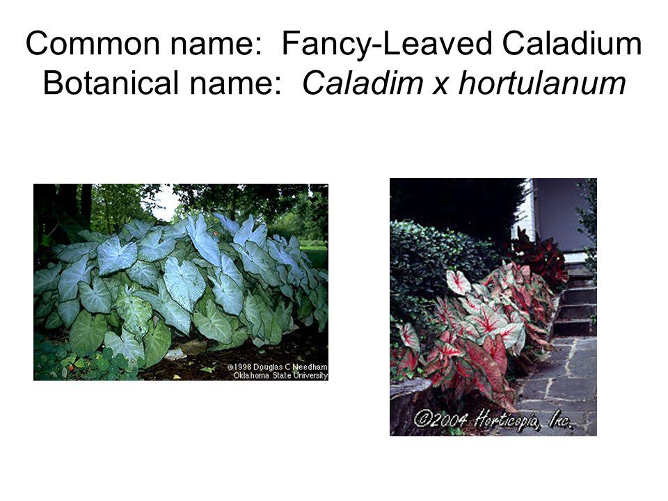 Common name: Fancy-Leaved Caladium Botanical name: Caladim x hortulanum