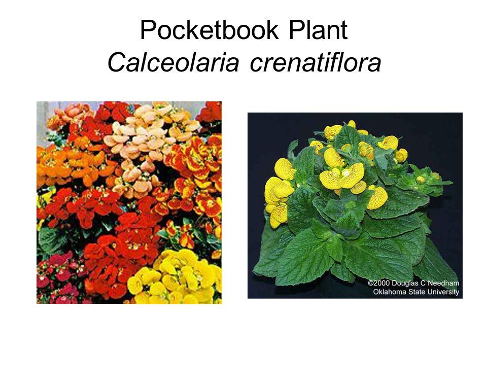 Pocketbook Plant Calceolaria crenatiflora