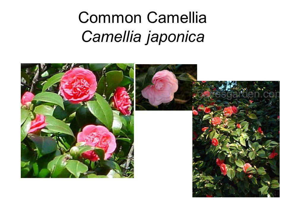 Common Camellia Camellia japonica