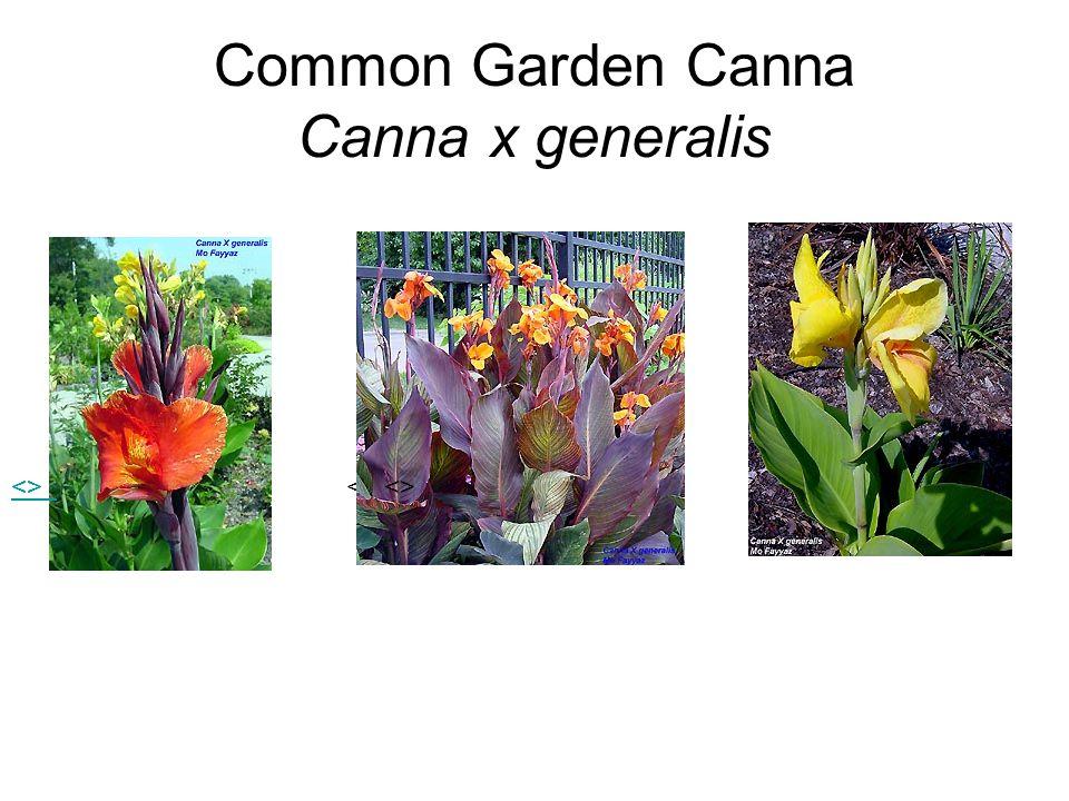 Common Garden Canna Canna x generalis