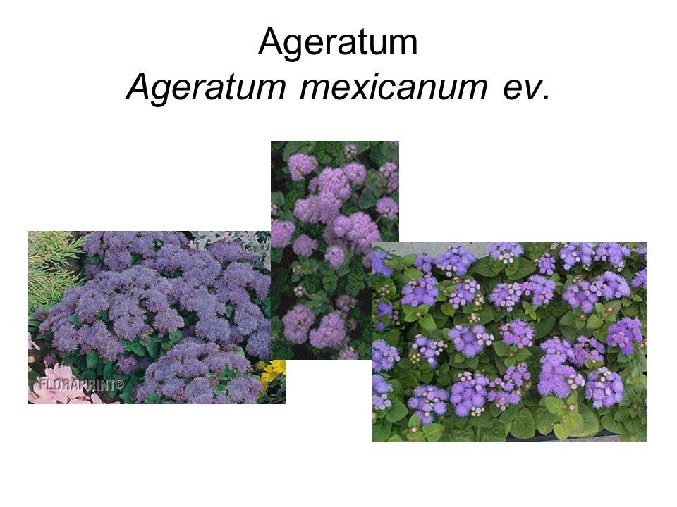 Ageratum Ageratum mexicanum ev.