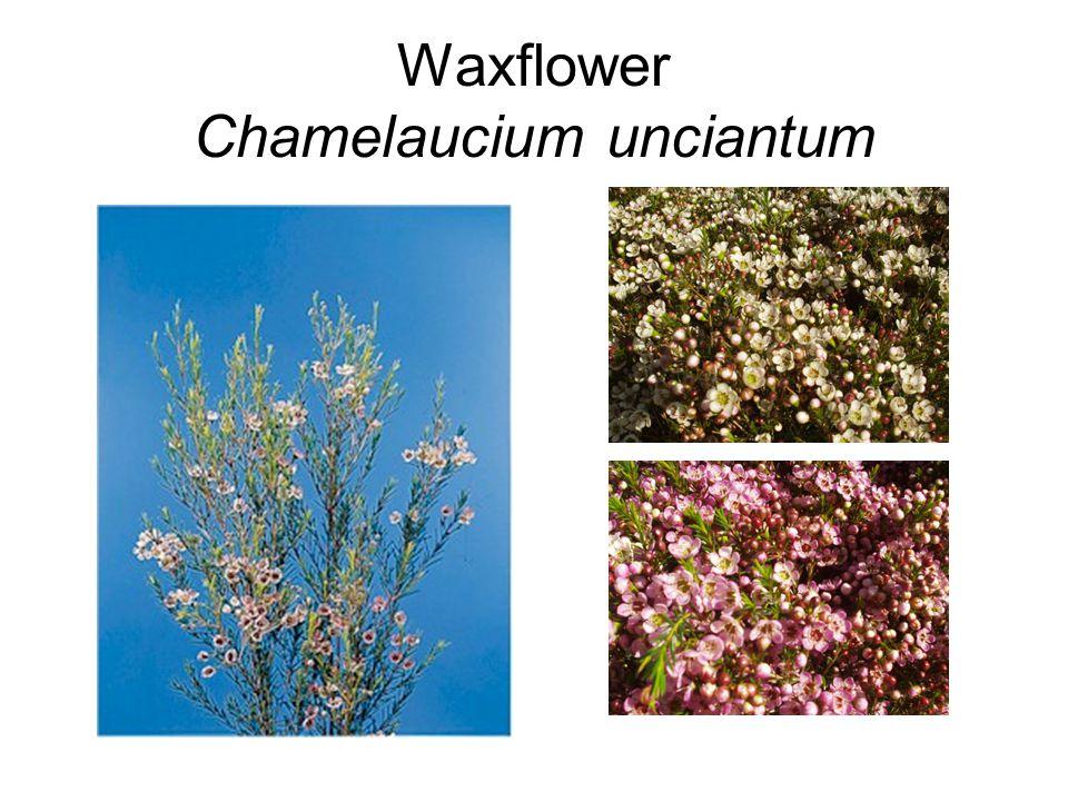 Waxflower Chamelaucium unciantum
