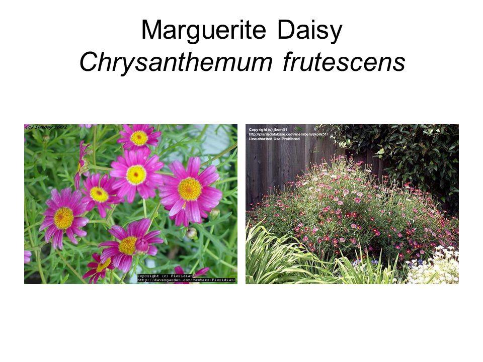 Marguerite Daisy Chrysanthemum frutescens