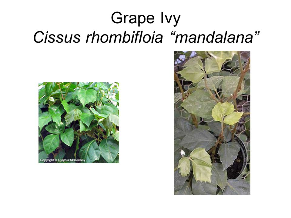 Grape Ivy Cissus rhombifloia mandalana