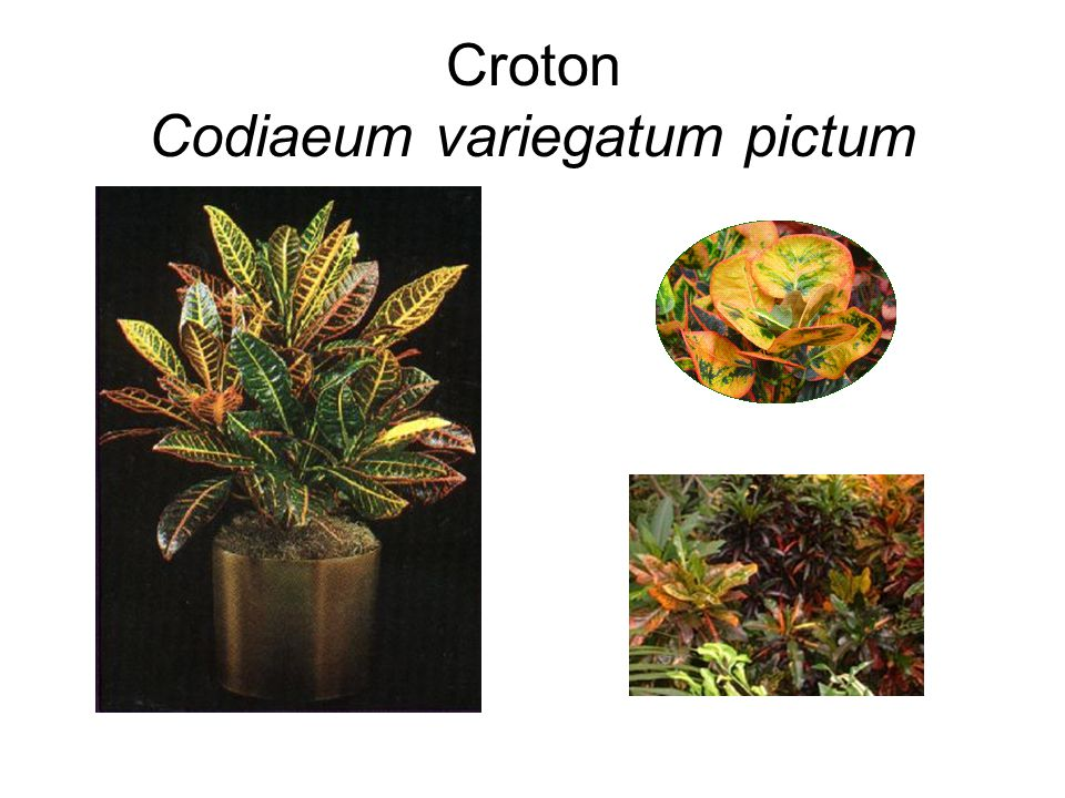 Croton Codiaeum variegatum pictum