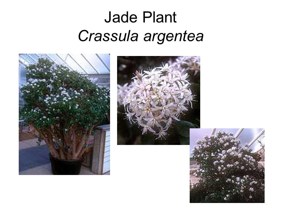 Jade Plant Crassula argentea