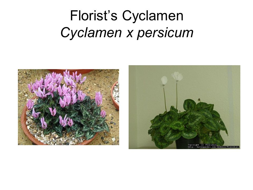 Florist's Cyclamen Cyclamen x persicum