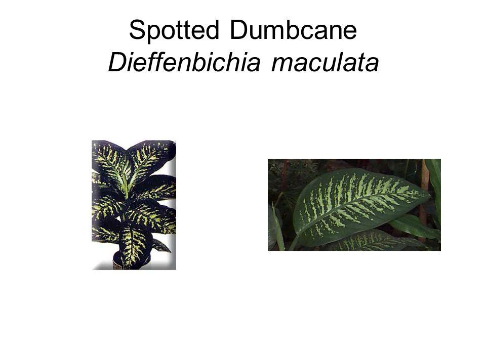 Spotted Dumbcane Dieffenbichia maculata