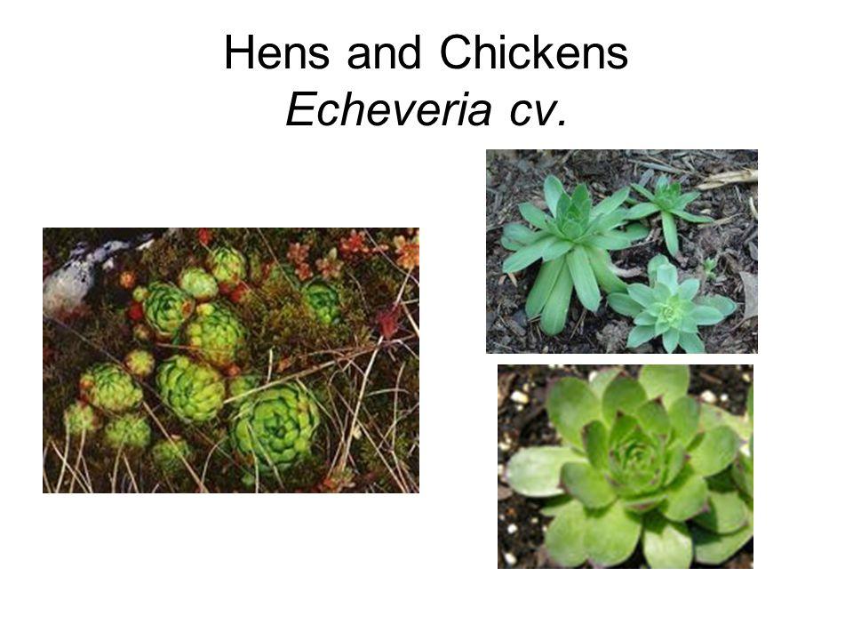 Hens and Chickens Echeveria cv.