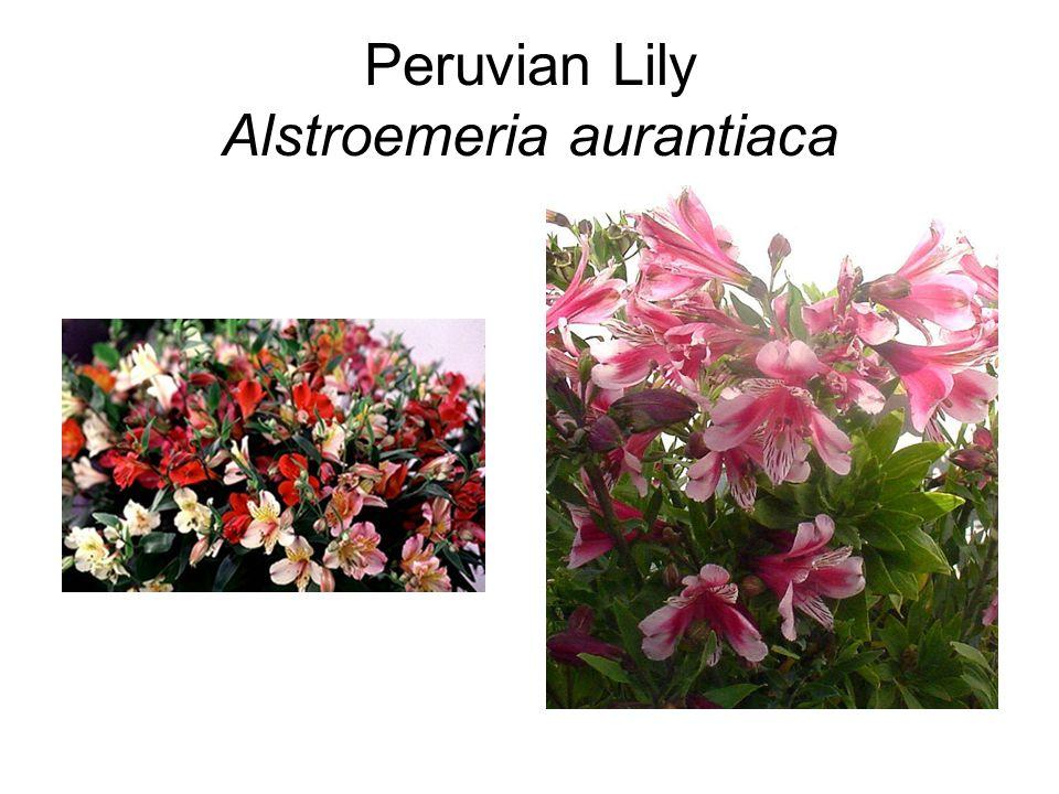 Peruvian Lily Alstroemeria aurantiaca