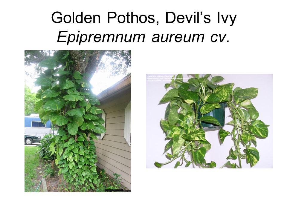 Golden Pothos, Devil's Ivy Epipremnum aureum cv.