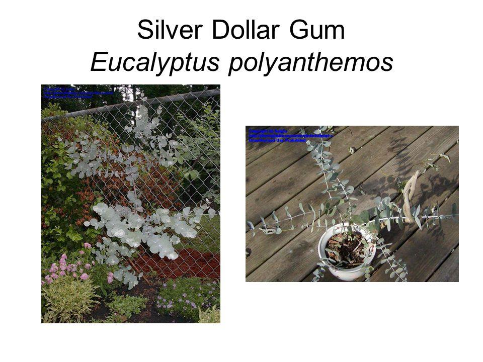 Silver Dollar Gum Eucalyptus polyanthemos