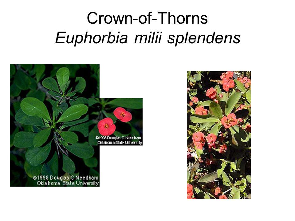 Crown-of-Thorns Euphorbia milii splendens
