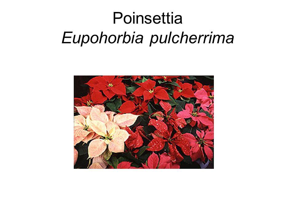 Poinsettia Eupohorbia pulcherrima