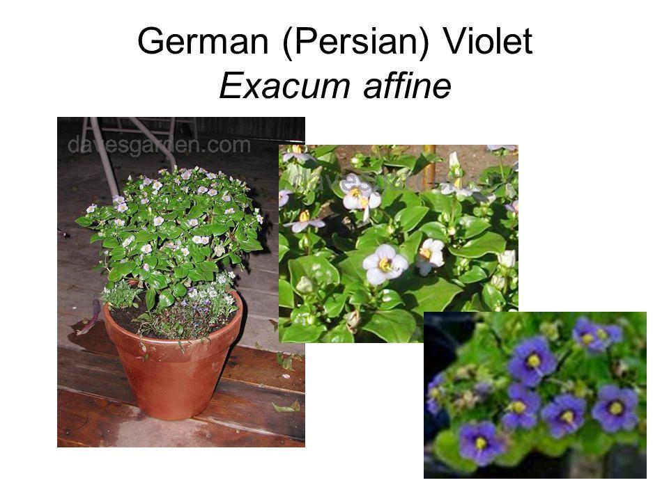 German (Persian) Violet Exacum affine