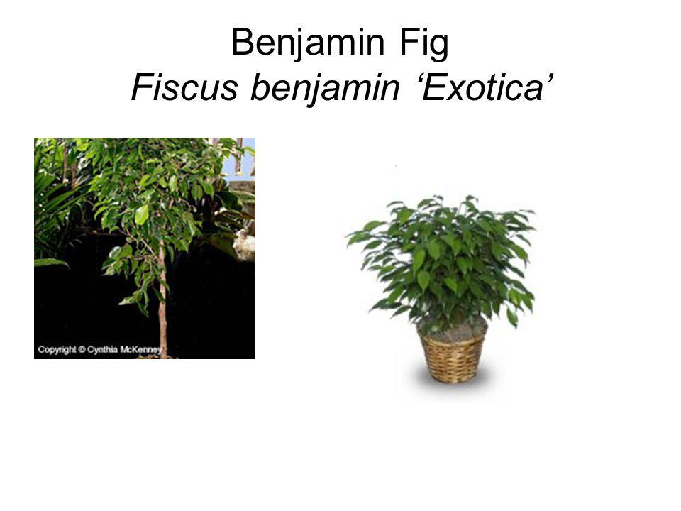 Benjamin Fig Fiscus benjamin 'Exotica'