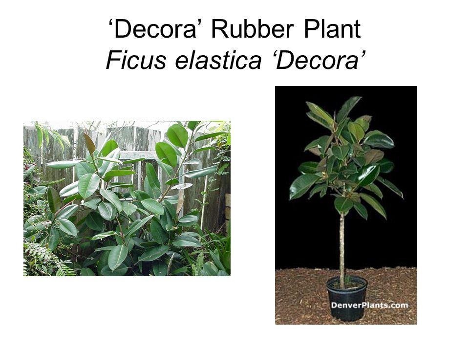 'Decora' Rubber Plant Ficus elastica 'Decora'