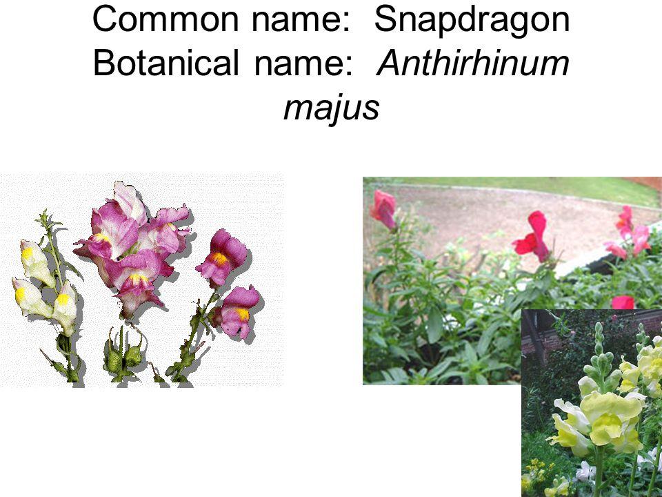 Common name: Snapdragon Botanical name: Anthirhinum majus