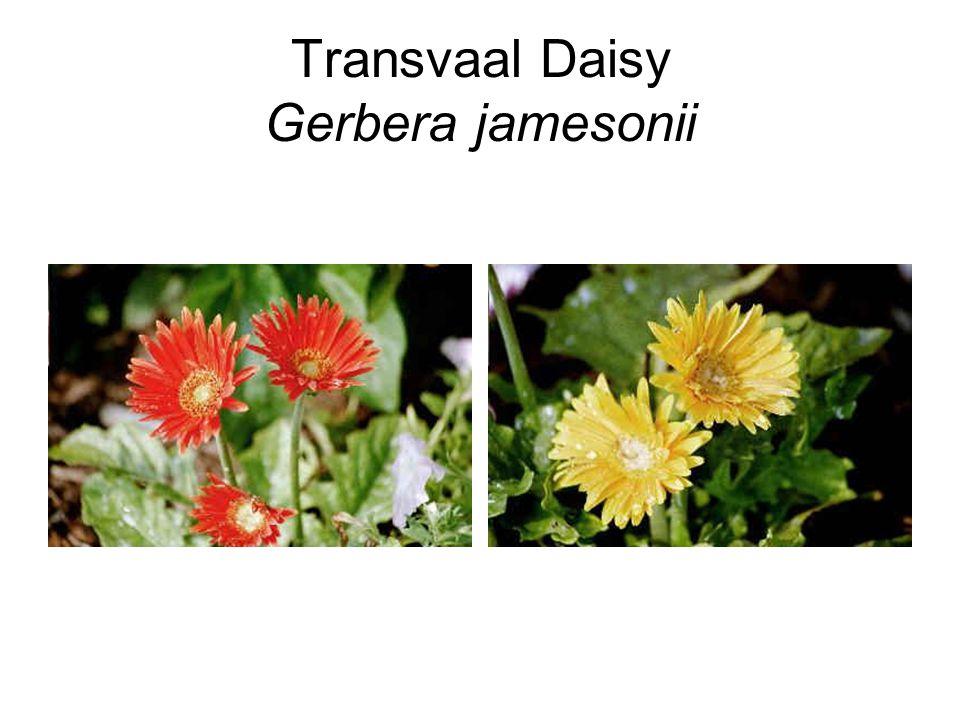 Transvaal Daisy Gerbera jamesonii