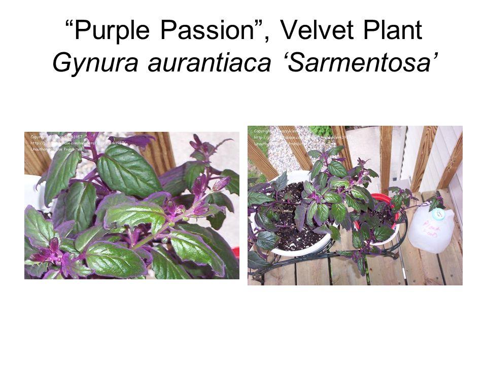 Purple Passion , Velvet Plant Gynura aurantiaca 'Sarmentosa'