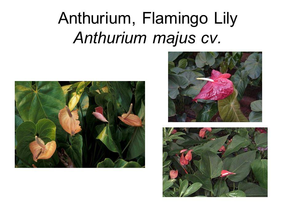 Anthurium, Flamingo Lily Anthurium majus cv.