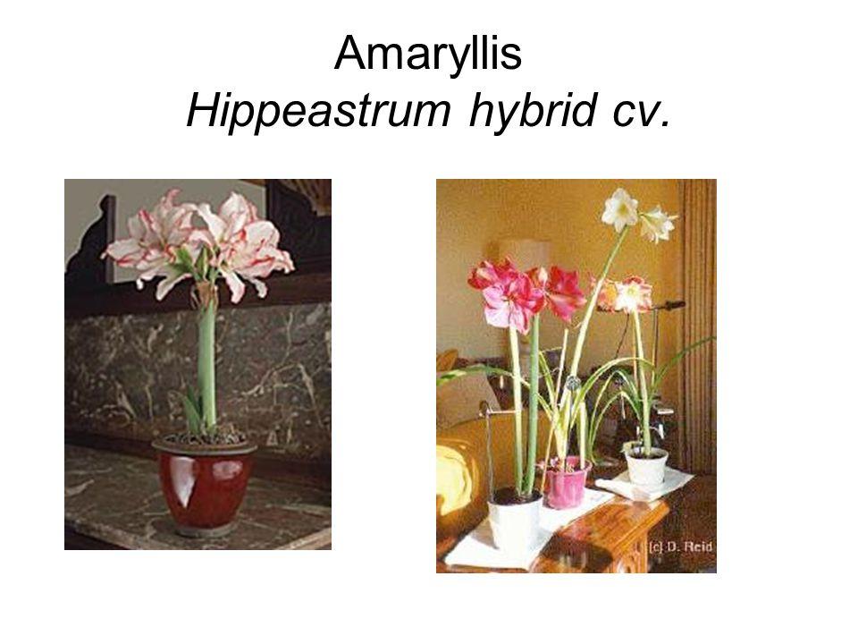 Amaryllis Hippeastrum hybrid cv.