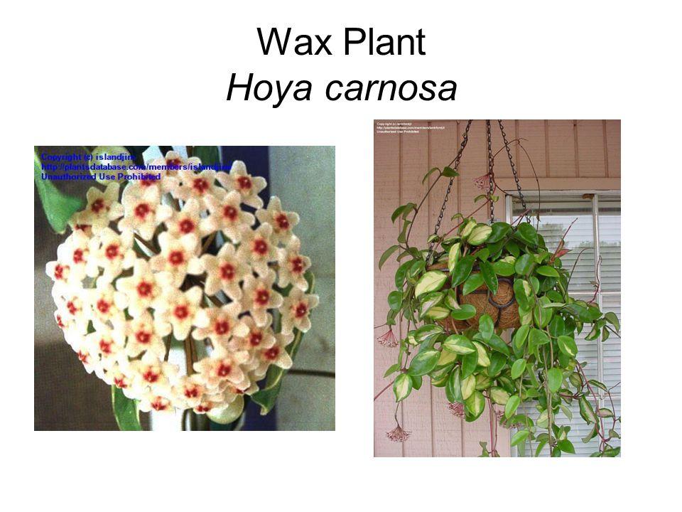 Wax Plant Hoya carnosa