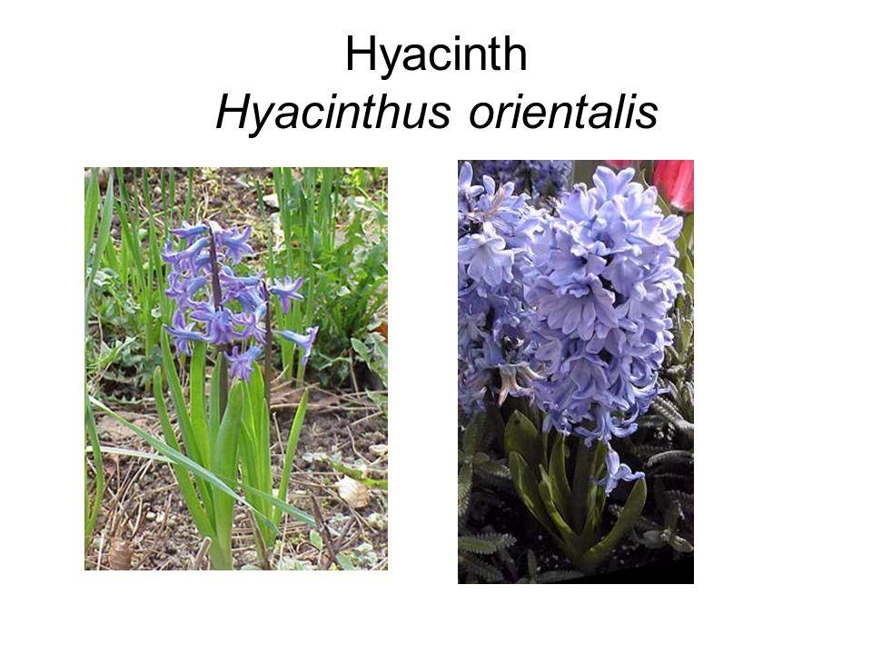 Hyacinth Hyacinthus orientalis