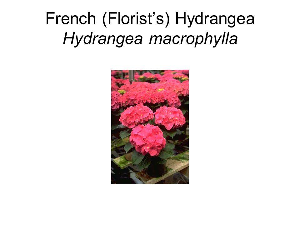 French (Florist's) Hydrangea Hydrangea macrophylla