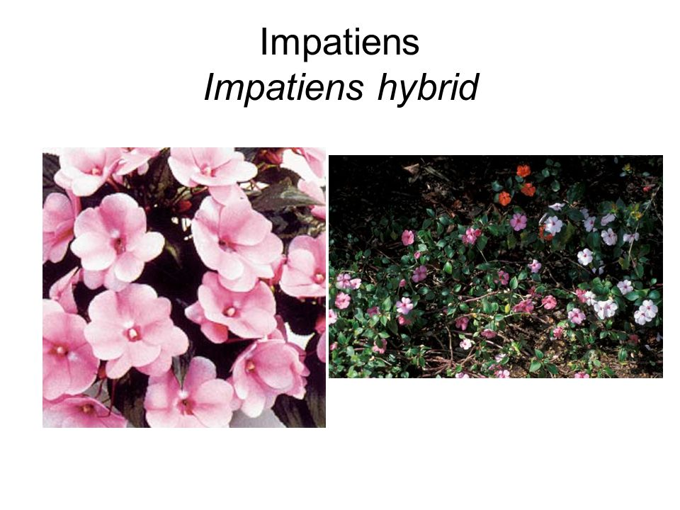 Impatiens Impatiens hybrid
