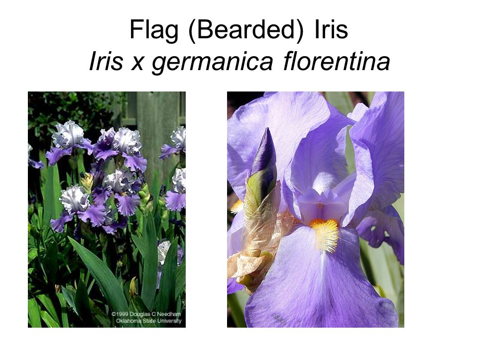 Flag (Bearded) Iris Iris x germanica florentina