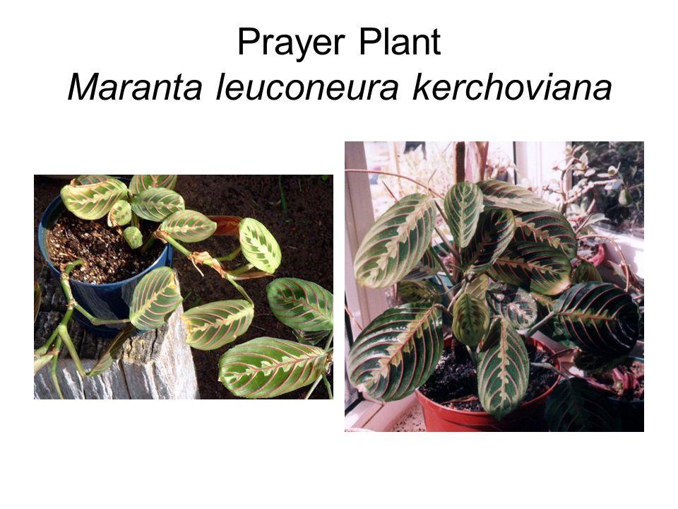Prayer Plant Maranta leuconeura kerchoviana