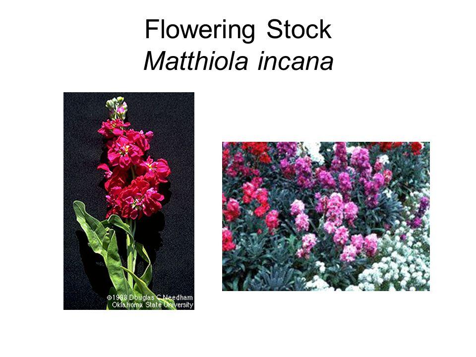Flowering Stock Matthiola incana