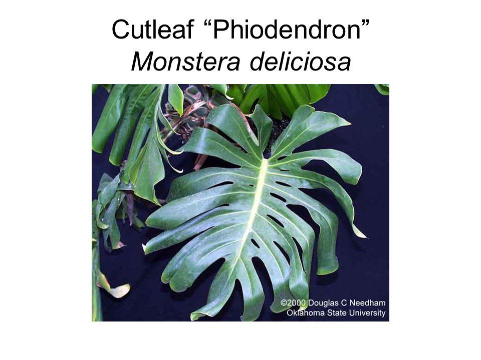 Cutleaf Phiodendron Monstera deliciosa