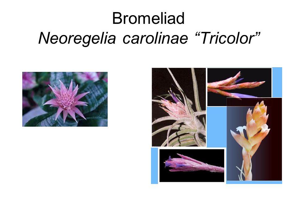Bromeliad Neoregelia carolinae Tricolor