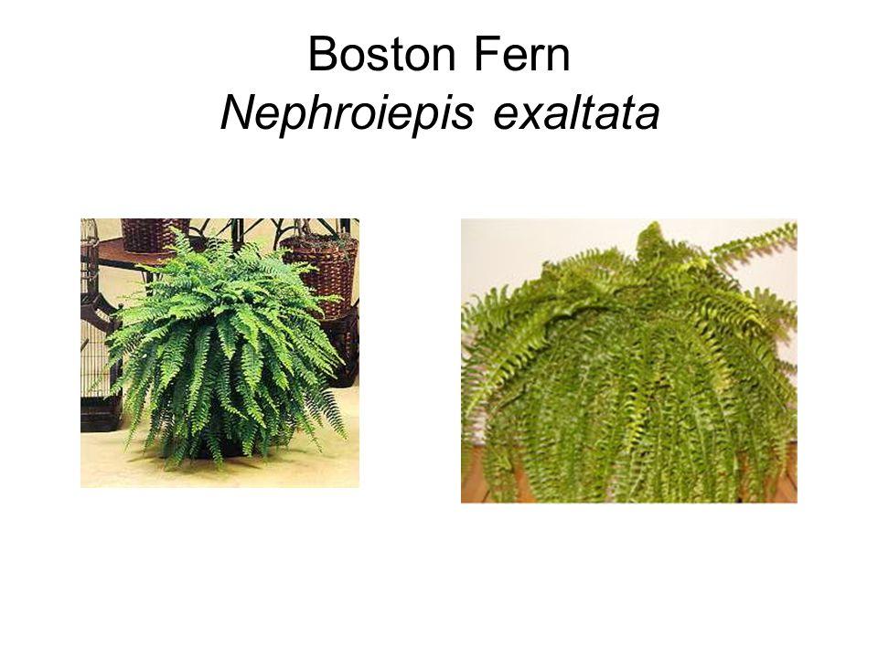 Boston Fern Nephroiepis exaltata
