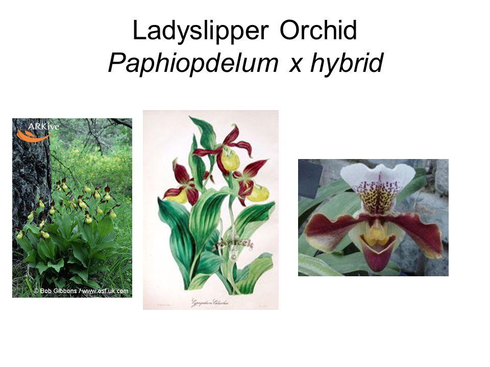 Ladyslipper Orchid Paphiopdelum x hybrid