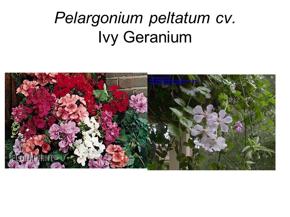 Pelargonium peltatum cv. Ivy Geranium