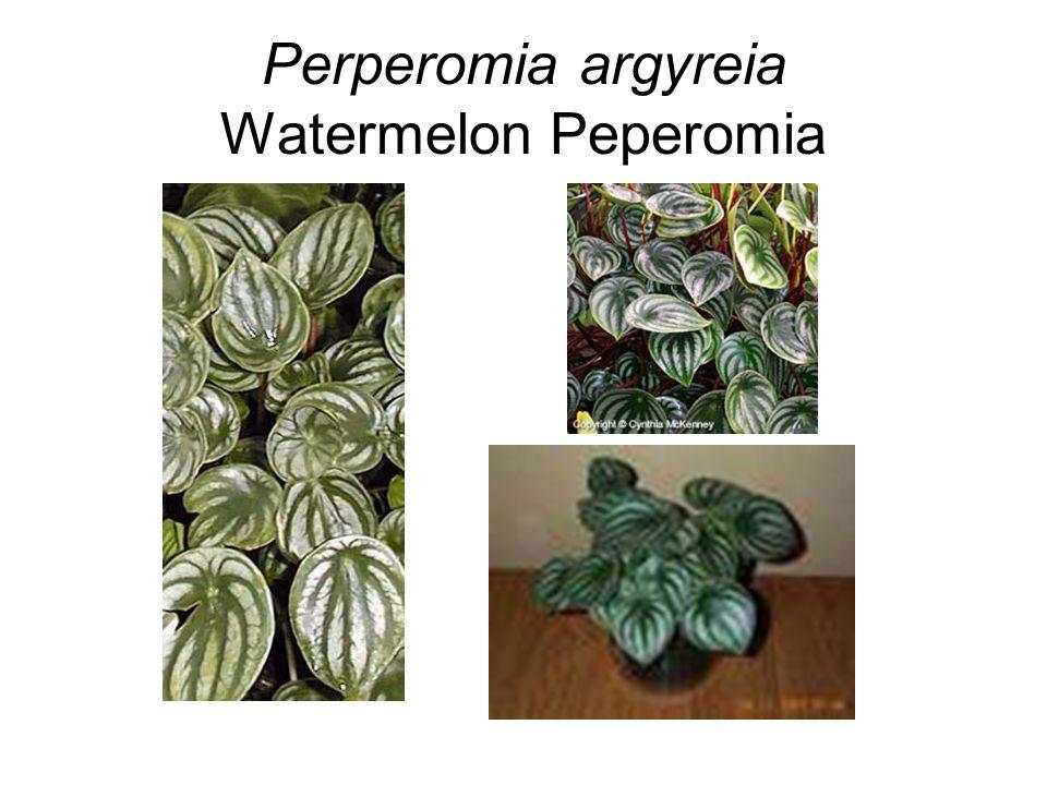 Perperomia argyreia Watermelon Peperomia