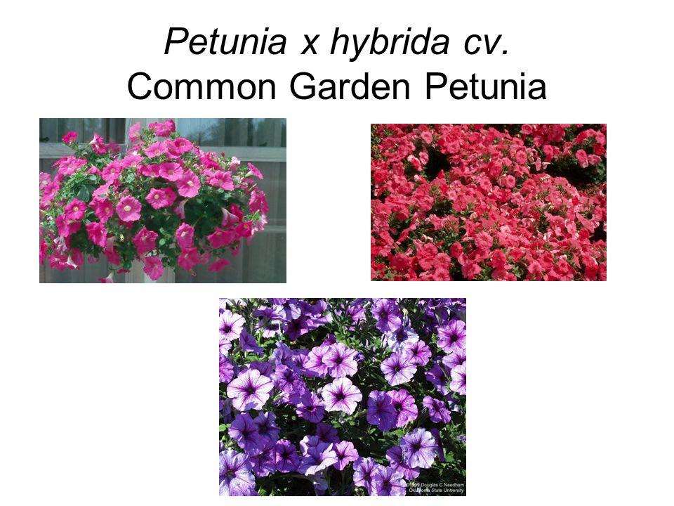 Petunia x hybrida cv. Common Garden Petunia