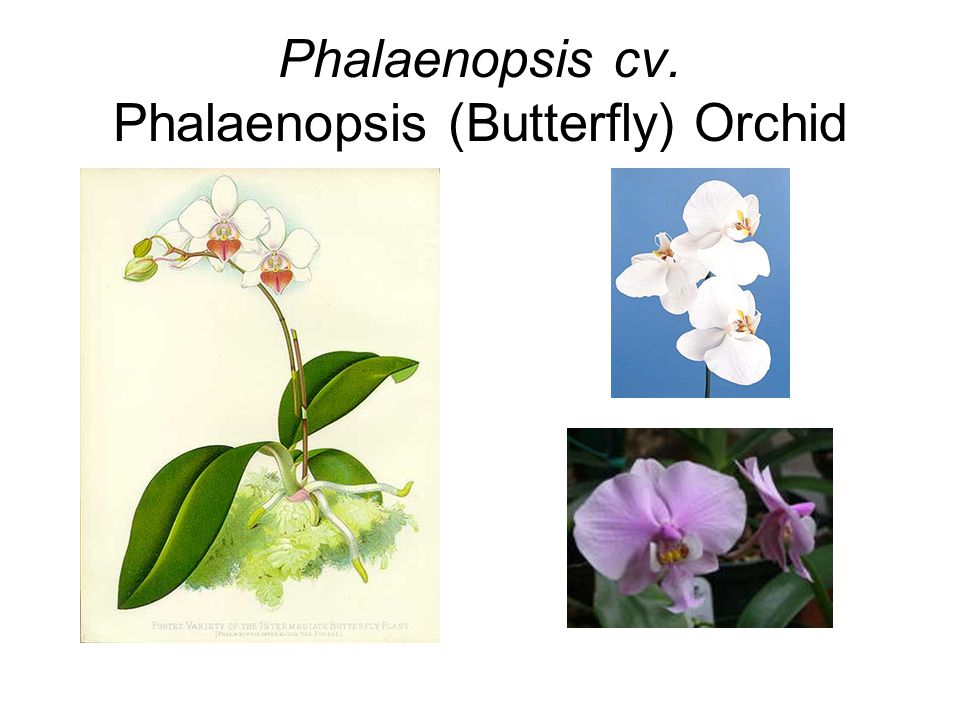 Phalaenopsis cv. Phalaenopsis (Butterfly) Orchid