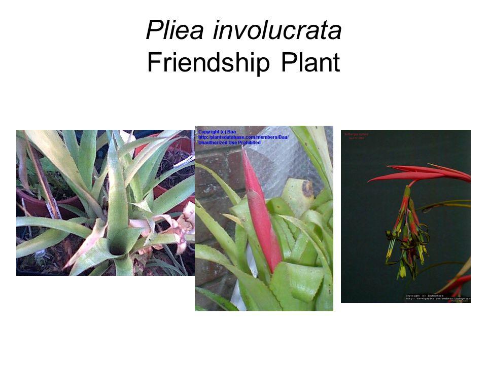 Pliea involucrata Friendship Plant