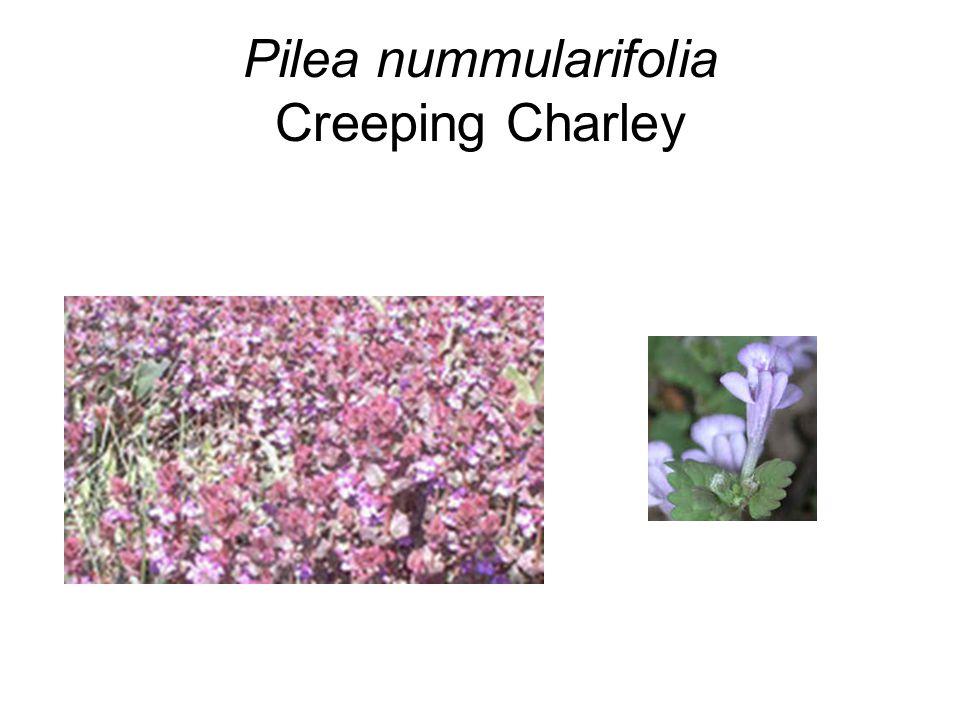 Pilea nummularifolia Creeping Charley
