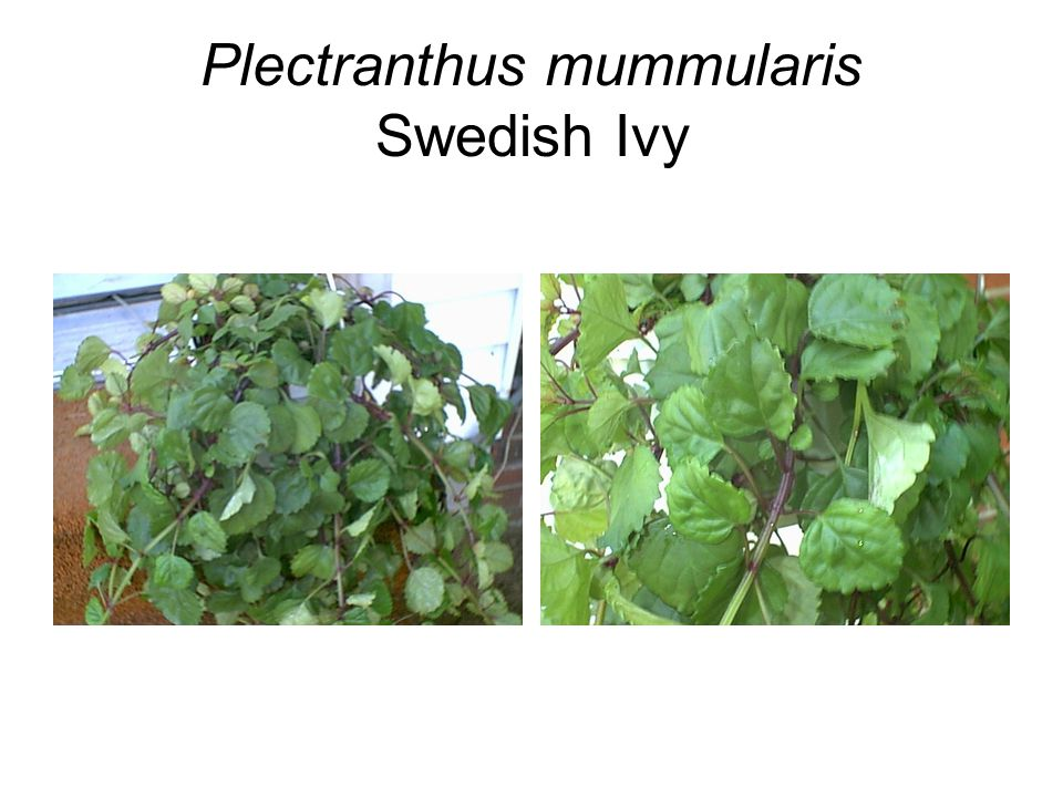 Plectranthus mummularis Swedish Ivy