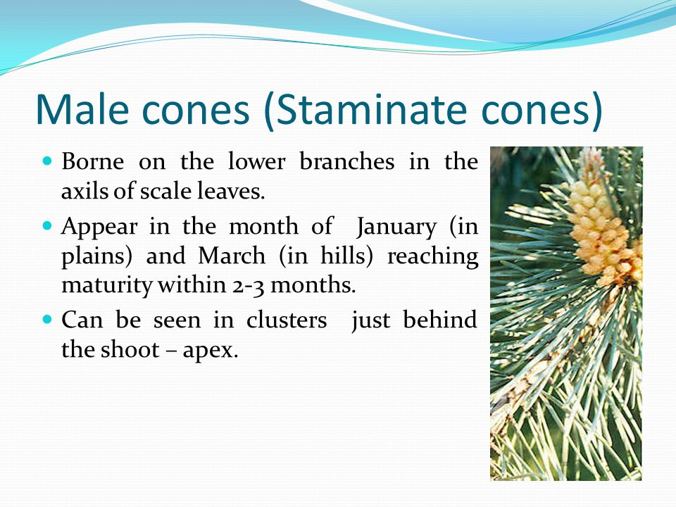Male cones (Staminate cones)