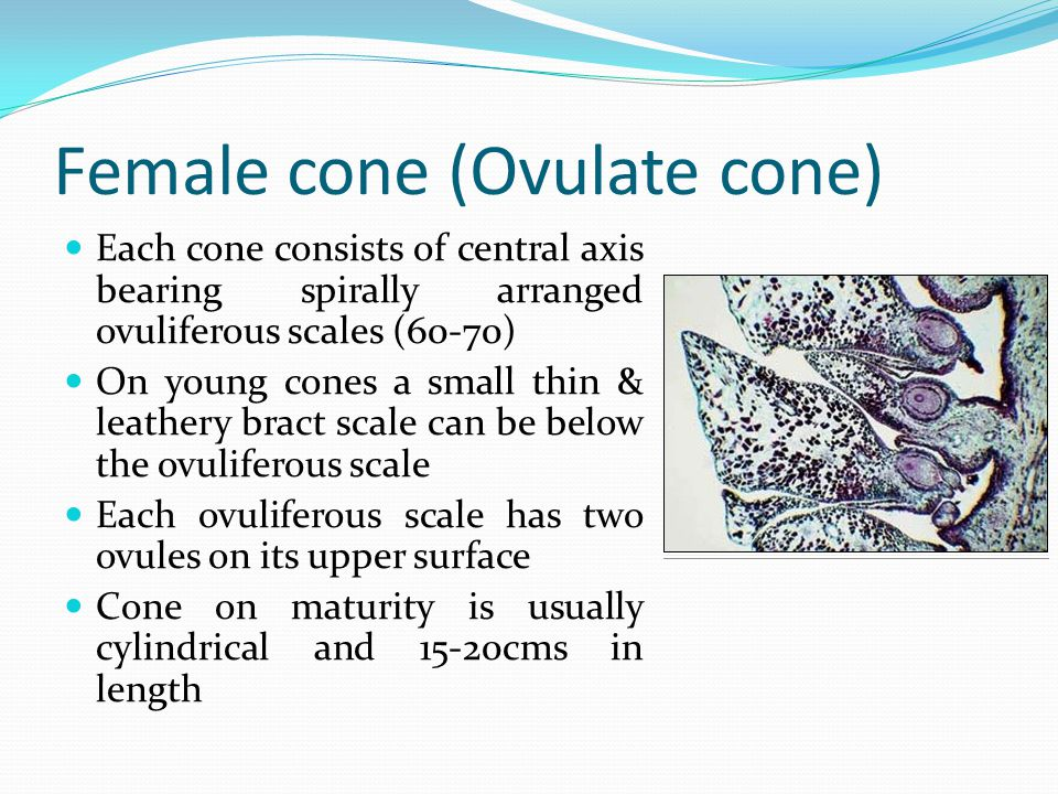 Female cone (Ovulate cone)