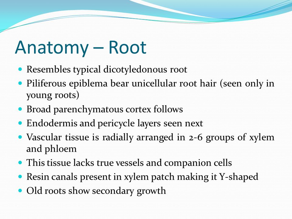Anatomy – Root Resembles typical dicotyledonous root