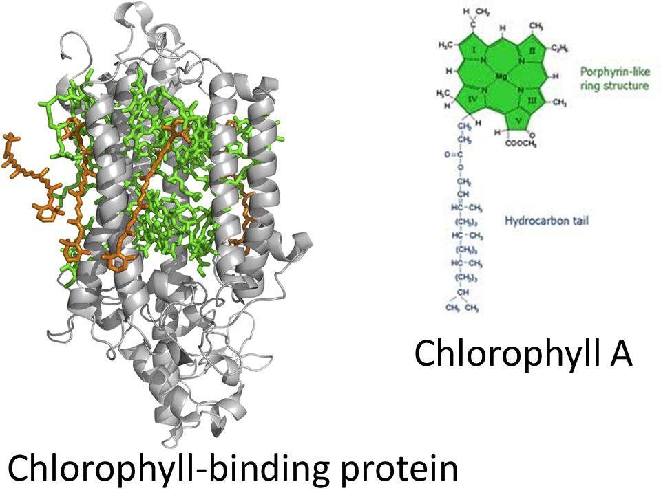 Chlorophyll A Chlorophyll-binding protein