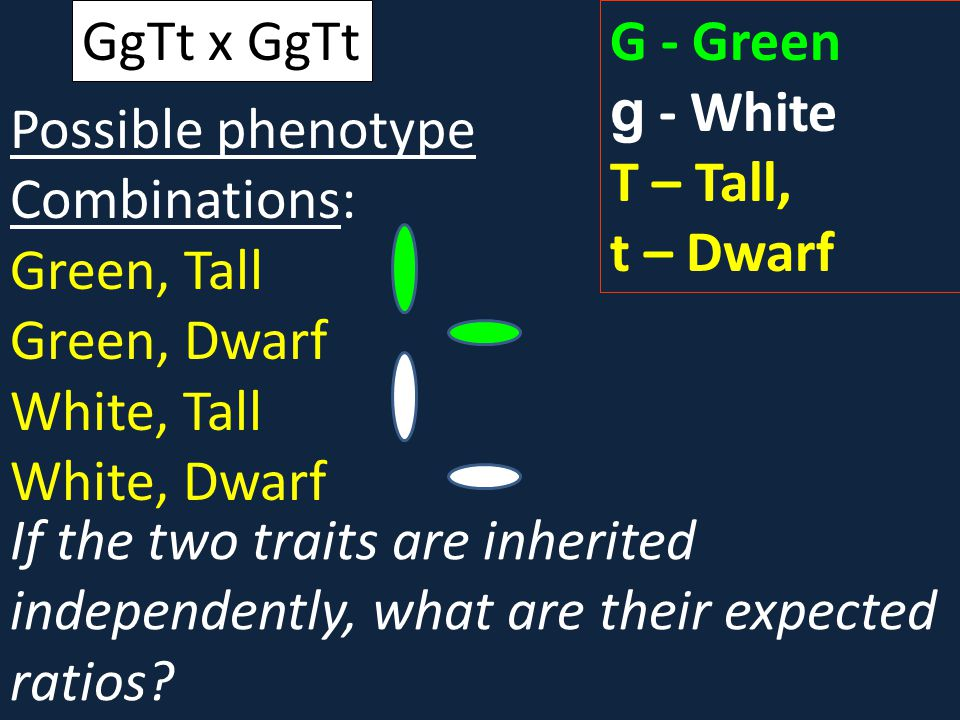 GgTt x GgTt G - Green. g - White. T – Tall, t – Dwarf. Possible phenotype Combinations: Green, Tall.